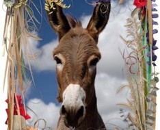 Donkeys of May at Golden Donkeys Farm
